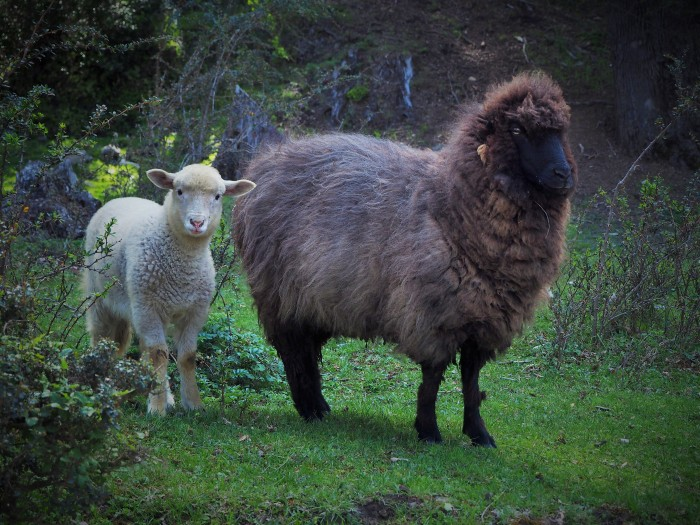 San Martin de los Andes - Moutons!