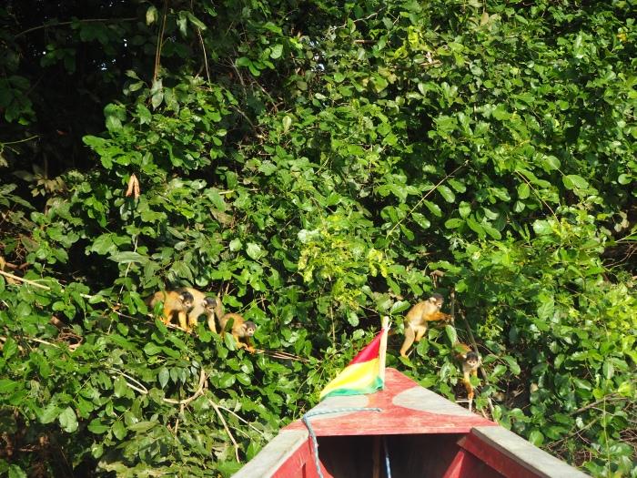 Des petits curieux - singes écureuil
