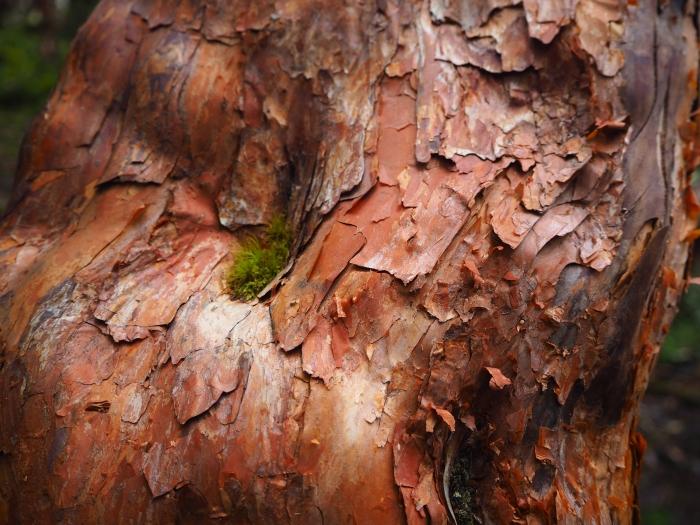 Parque Nacional Cajas - Arbres de Papier