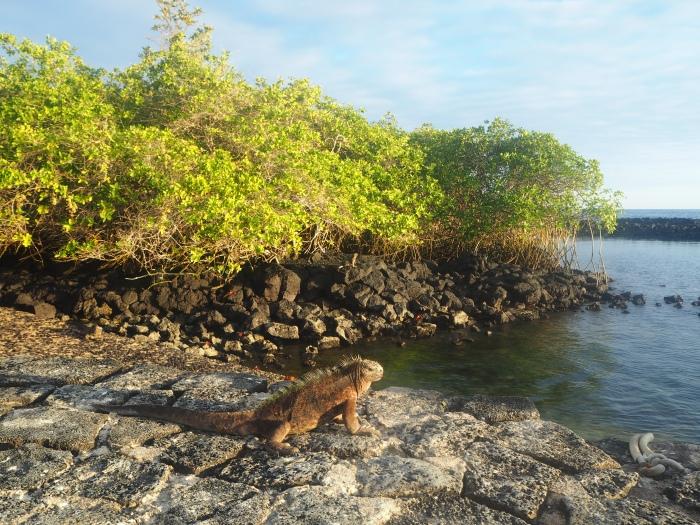 Iguane - Galapagos