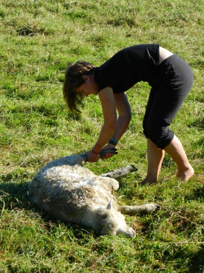 En action. Sauvons le mouton!