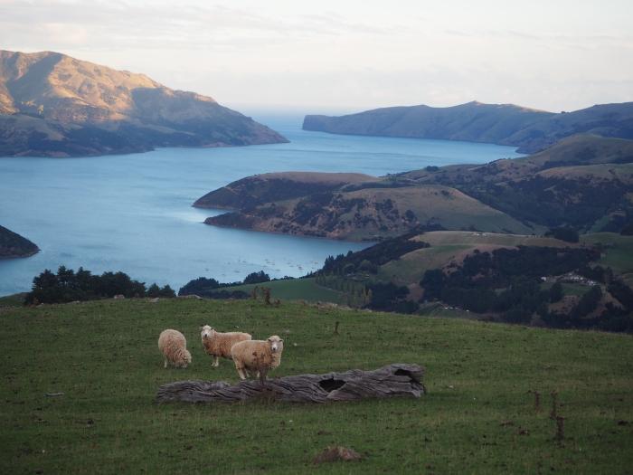 Impossible d'avoir un peu d'intimité en Nouvelle-Zélande. Il y a toujours un mouton pour t'observer en train de faire pipi