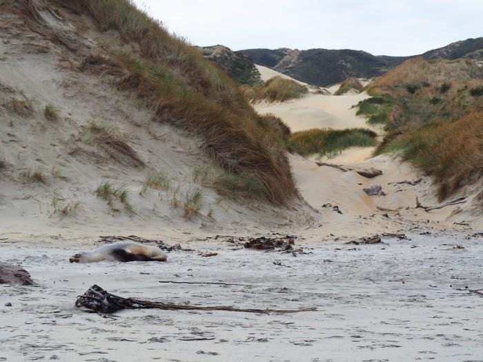 Otarie tranquille sur la plage - Sandfly Bay