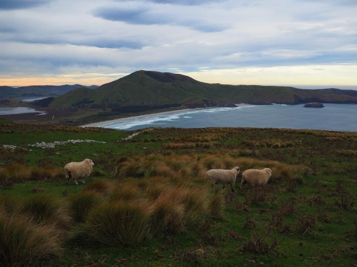 Plein la vue pour les moutons! Péninsule Otago